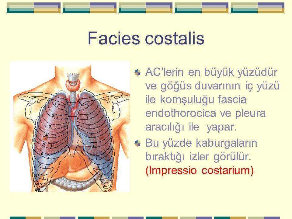Facies costalis AC'lerin en büyük yüzüdür ve göğüs duvarının iç yüzü ile komşuluğu fascia endothorocica ve pleura aracılığı ile yapar.