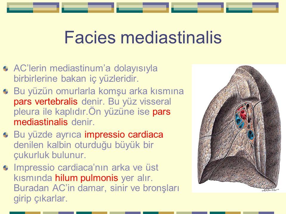 Facies mediastinalis AC'lerin mediastinum'a dolayısıyla birbirlerine bakan iç yüzleridir.