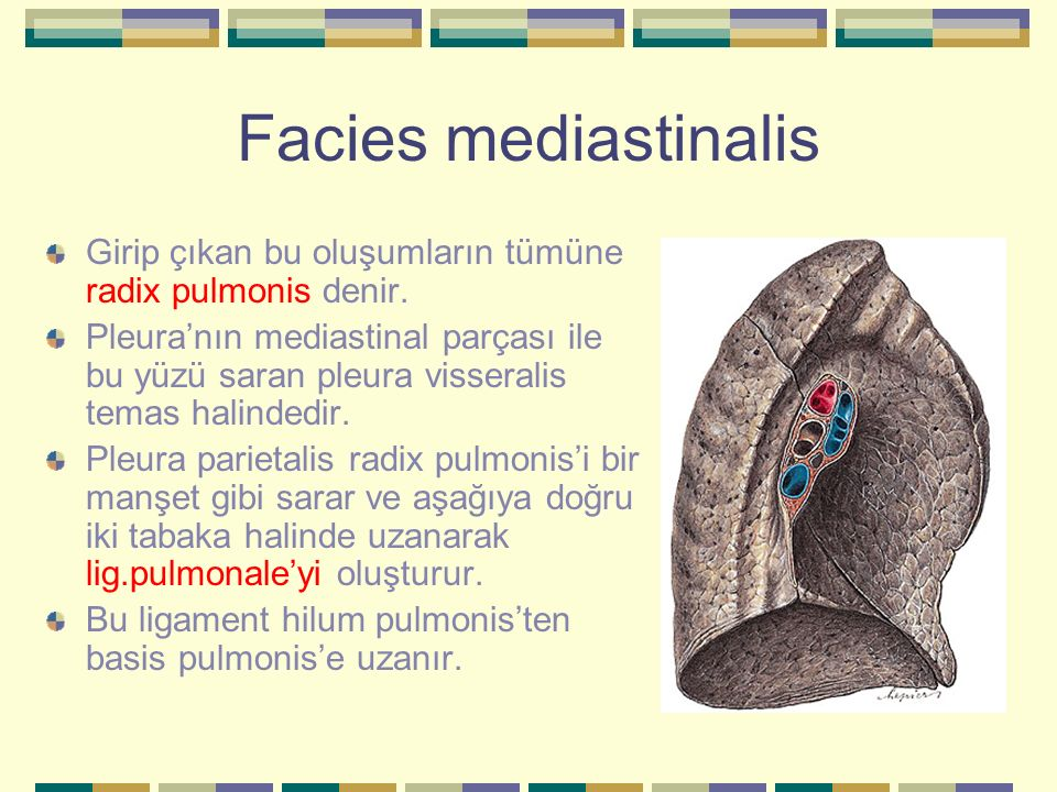 Facies mediastinalis Girip çıkan bu oluşumların tümüne radix pulmonis denir.