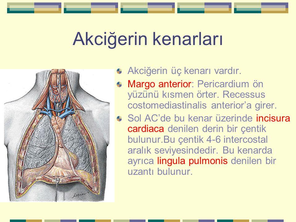 Akciğerin kenarları Akciğerin üç kenarı vardır.