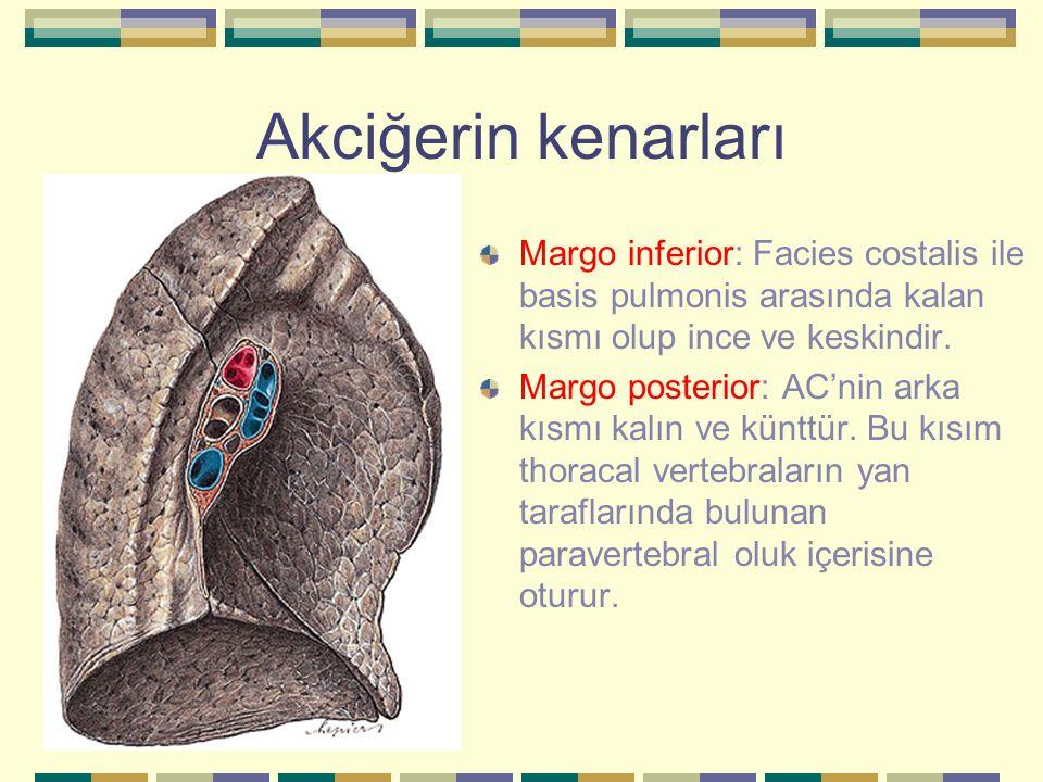 Akciğerin kenarları Margo inferior: Facies costalis ile basis pulmonis arasında kalan kısmı olup ince ve keskindir.
