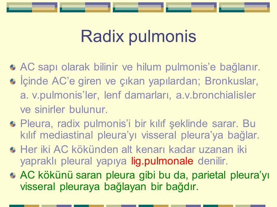 Radix pulmonis AC sapı olarak bilinir ve hilum pulmonis'e bağlanır.