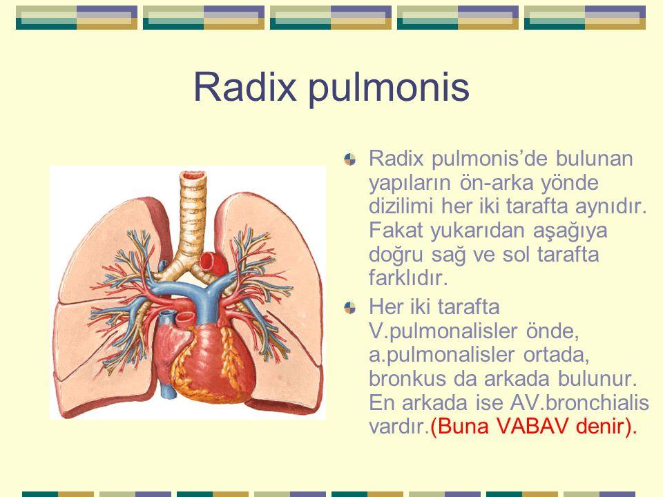 Radix pulmonis