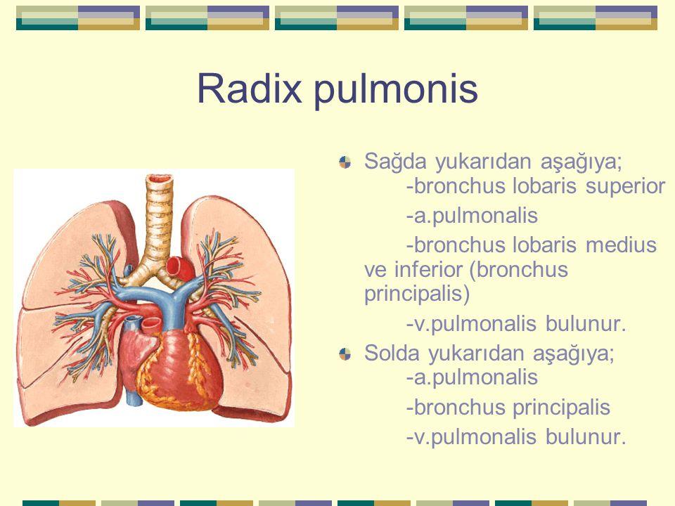 Radix pulmonis Sağda yukarıdan aşağıya; -bronchus lobaris superior