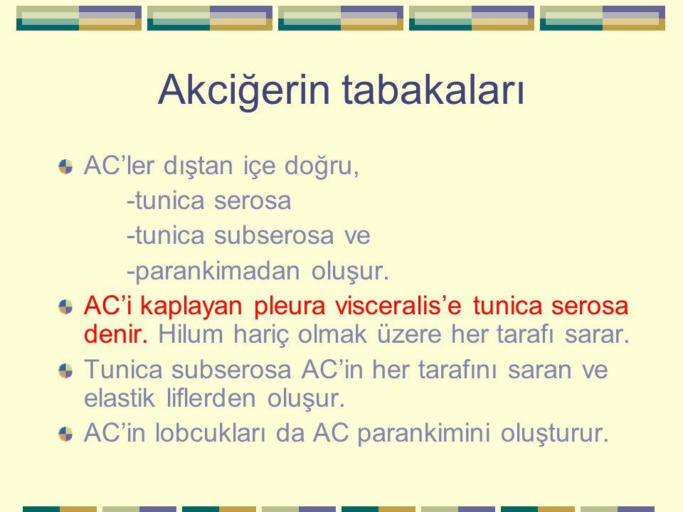 Akciğerin tabakaları AC'ler dıştan içe doğru, -tunica serosa