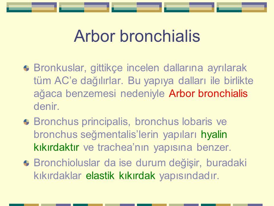 Arbor bronchialis