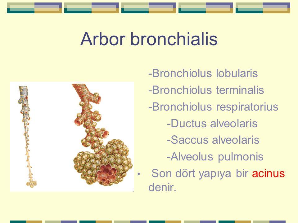 Arbor bronchialis -Bronchiolus lobularis -Bronchiolus terminalis