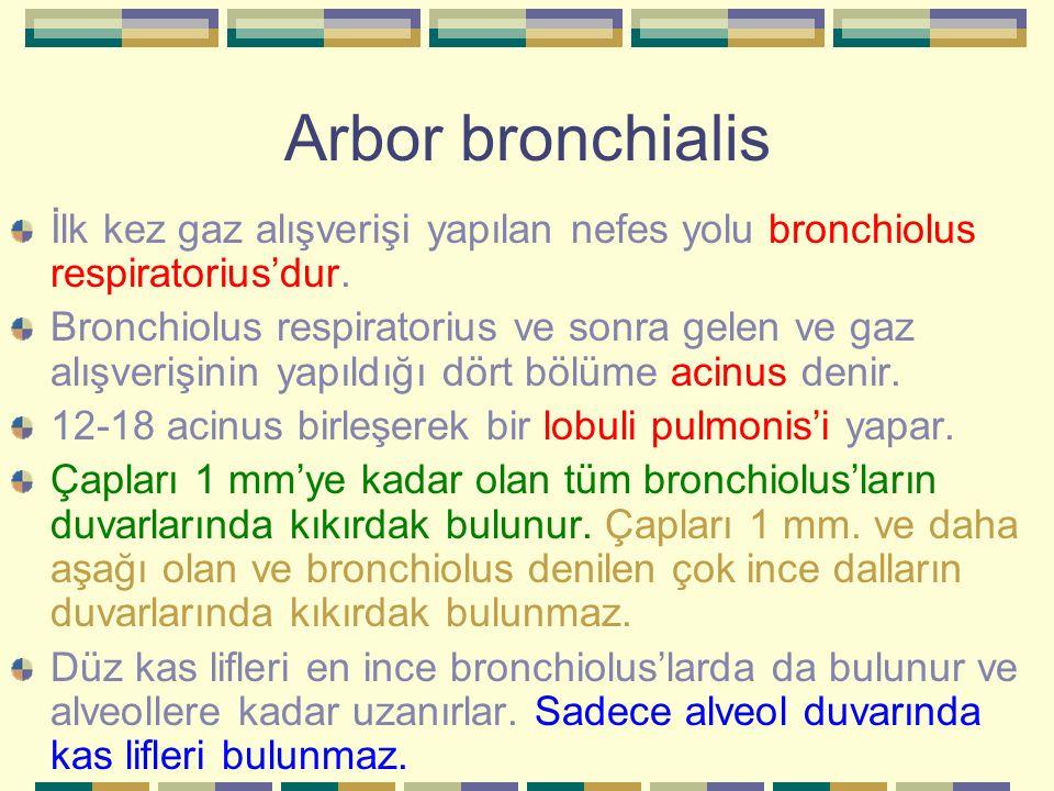 Arbor bronchialis İlk kez gaz alışverişi yapılan nefes yolu bronchiolus respiratorius'dur.