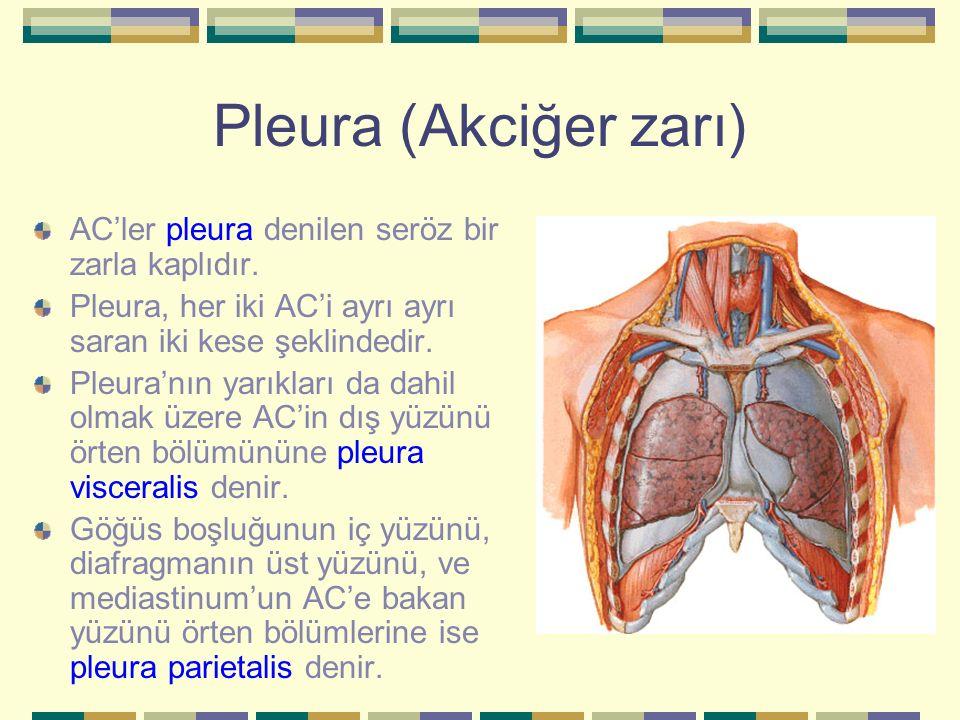 Pleura (Akciğer zarı) AC'ler pleura denilen seröz bir zarla kaplıdır.