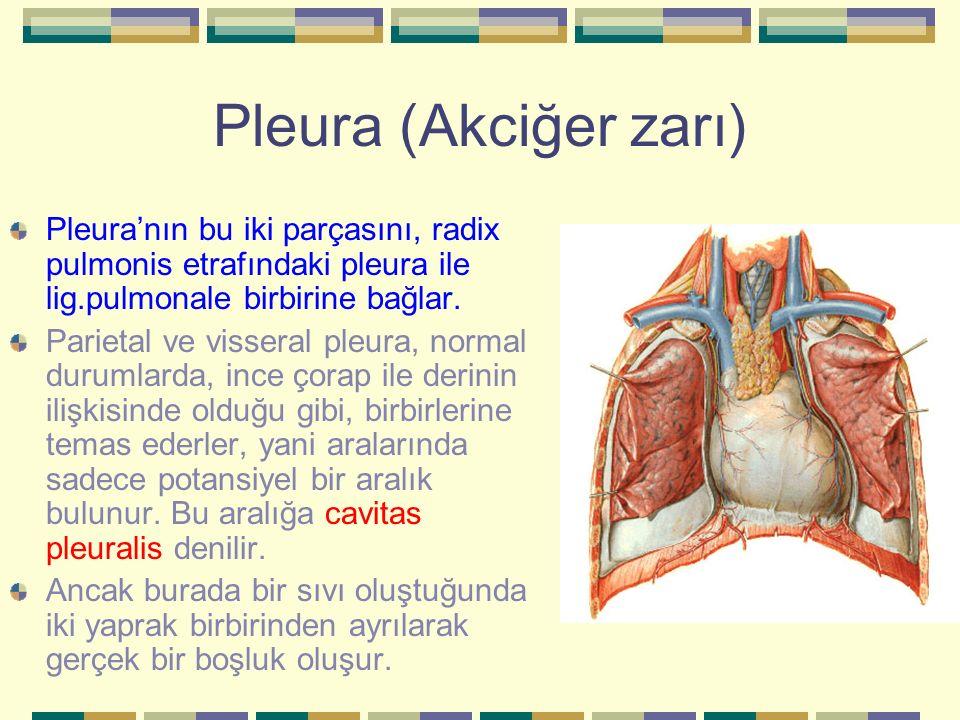 Pleura (Akciğer zarı) Pleura'nın bu iki parçasını, radix pulmonis etrafındaki pleura ile lig.pulmonale birbirine bağlar.