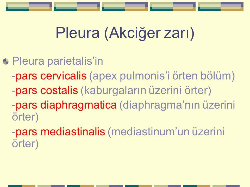 Pleura (Akciğer zarı) Pleura parietalis'in