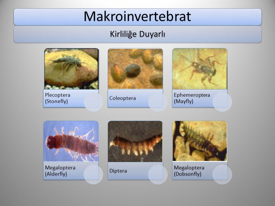 Makroinvertebrat Kirliliğe Duyarlı Plecoptera (Stonefly) Coleoptera