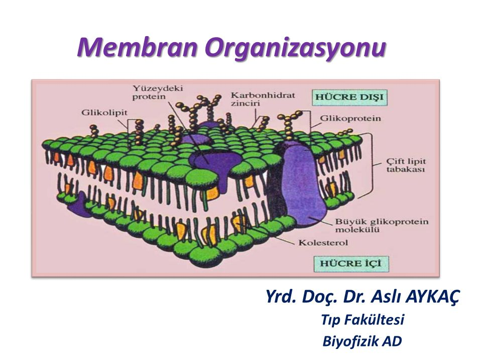 Membran Organizasyonu