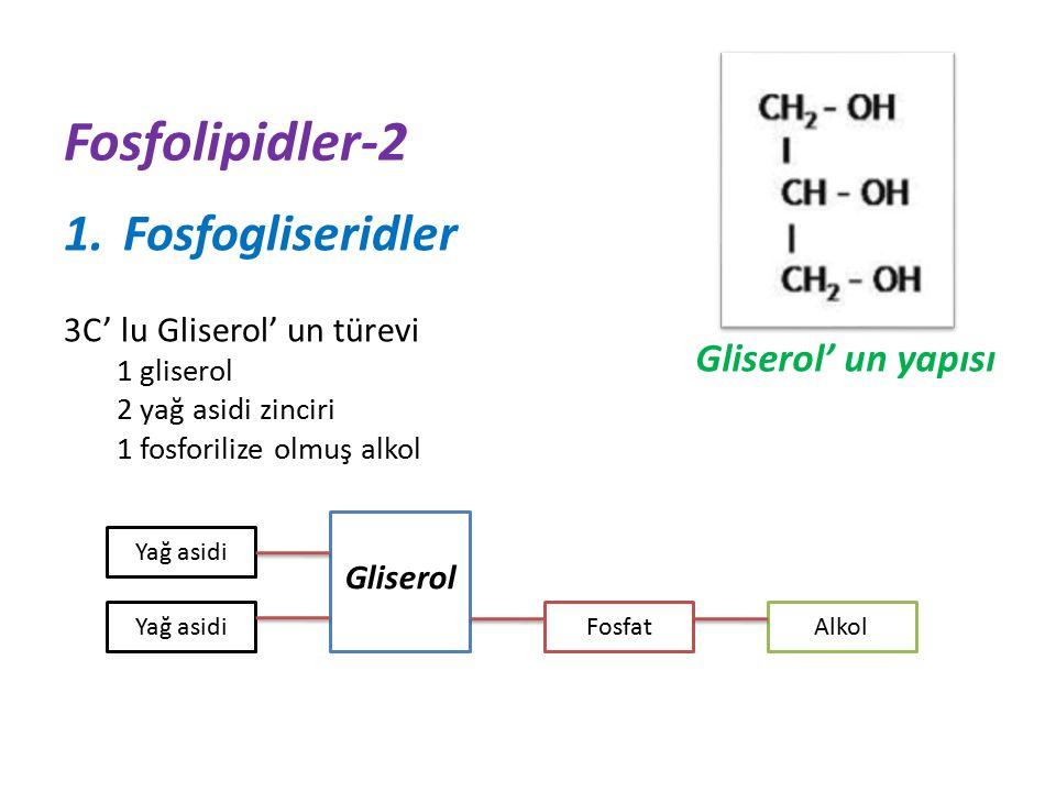 Fosfolipidler-2 Fosfogliseridler Gliserol' un yapısı