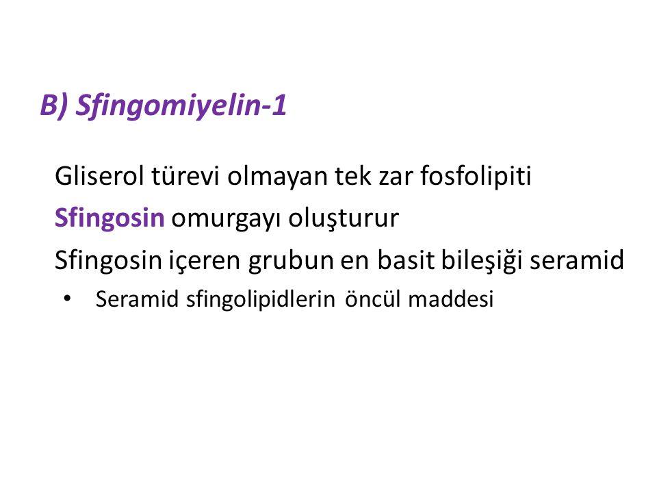 B) Sfingomiyelin-1 Gliserol türevi olmayan tek zar fosfolipiti