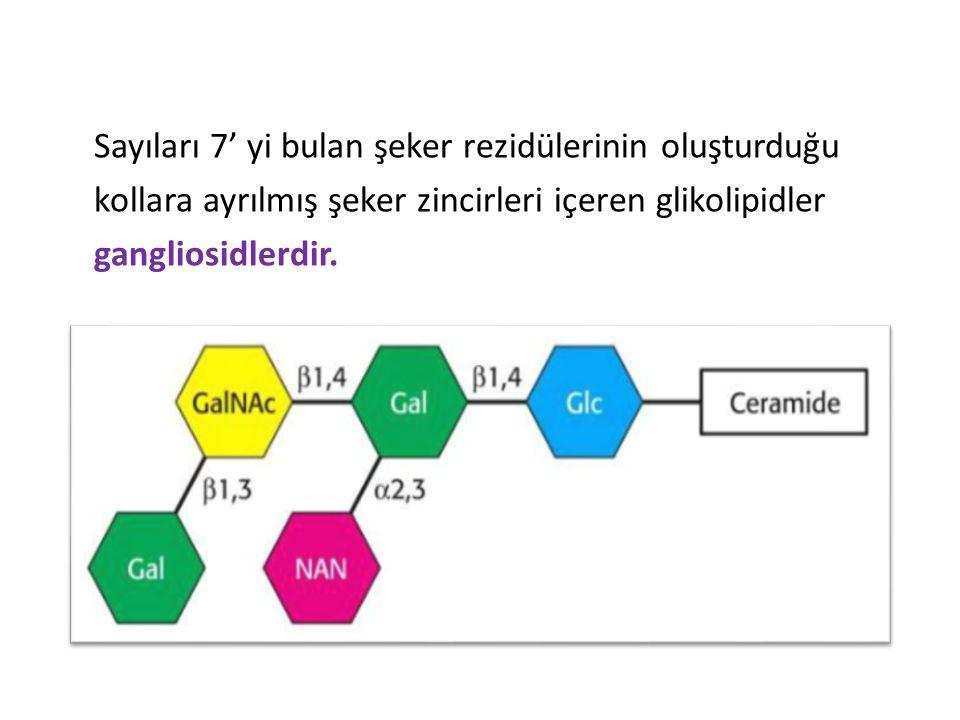 Sayıları 7' yi bulan şeker rezidülerinin oluşturduğu kollara ayrılmış şeker zincirleri içeren glikolipidler gangliosidlerdir.