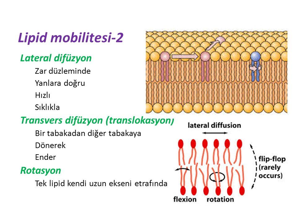 Lipid mobilitesi-2 Lateral difüzyon Transvers difüzyon (translokasyon)