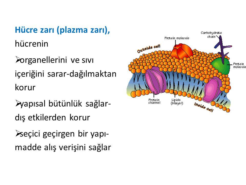 Hücre zarı (plazma zarı), hücrenin