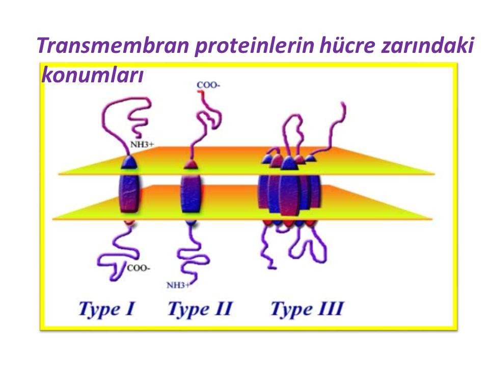 Transmembran proteinlerin hücre zarındaki