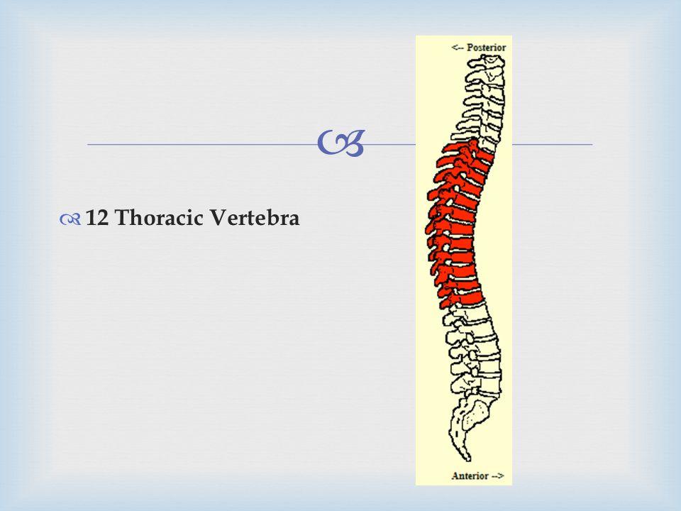 12 Thoracic Vertebra