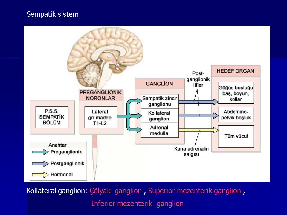 Sempatik sistem Kollateral ganglion: Çölyak ganglion , Superior mezenterik ganglion , İnferior mezenterik ganglion.