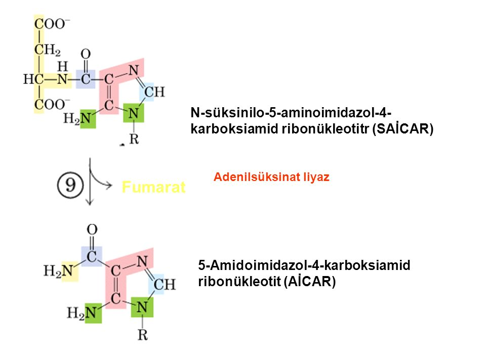 N-süksinilo-5-aminoimidazol-4-karboksiamid ribonükleotitr (SAİCAR)