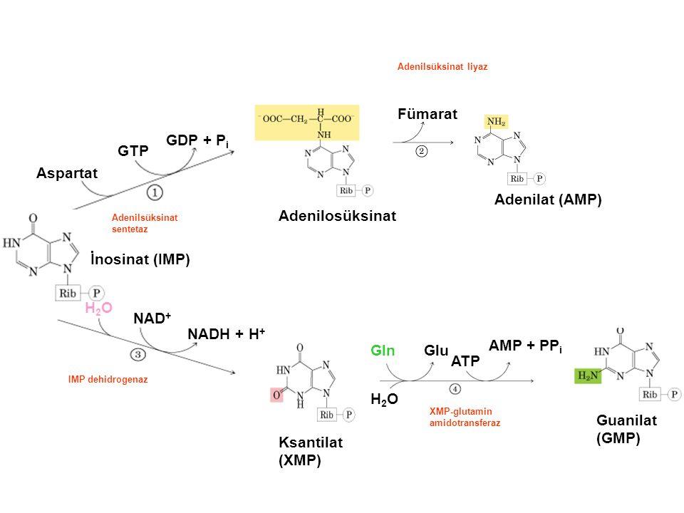 Fümarat GDP + Pi GTP Aspartat Adenilat (AMP) Adenilosüksinat