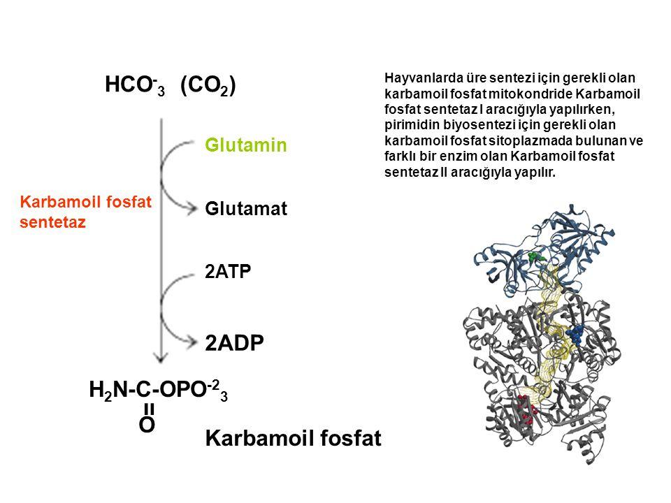 HCO-3 (CO2) 2ADP H2N-C-OPO-23 װ O Karbamoil fosfat Glutamin Glutamat