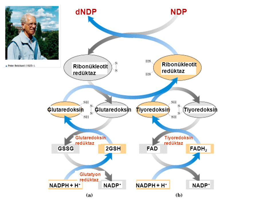 dNDP NDP Ribonükleotit redüktaz Ribonükleotit redüktaz Glutaredoksin