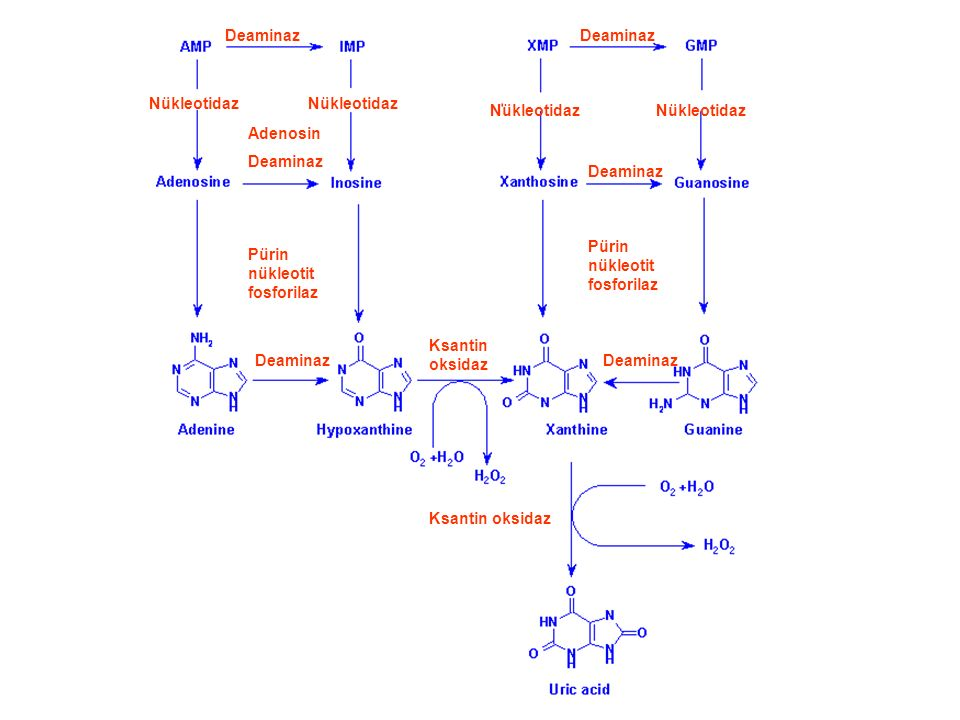 Deaminaz Deaminaz. Nükleotidaz. Nükleotidaz. Nükleotidaz. Nükleotidaz. Adenosin. Deaminaz. Deaminaz.