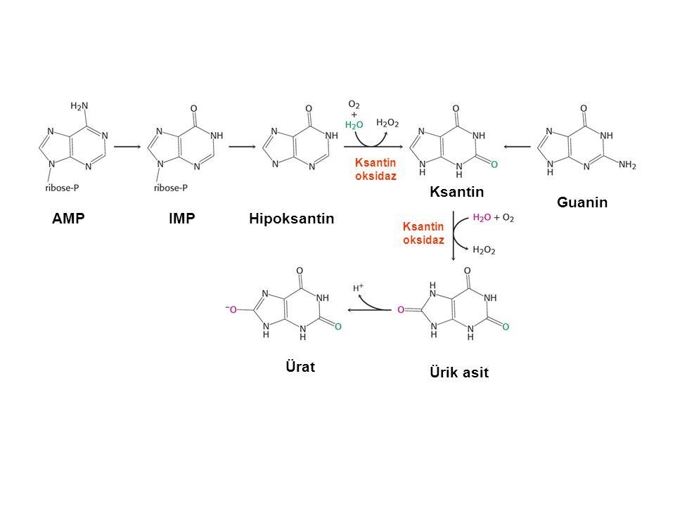 Ksantin Guanin AMP IMP Hipoksantin Ürat Ürik asit Ksantin oksidaz