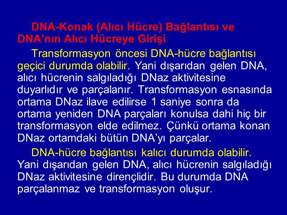 DNA-Konak (Alıcı Hücre) Bağlantısı ve DNA nın Alıcı Hücreye Girişi