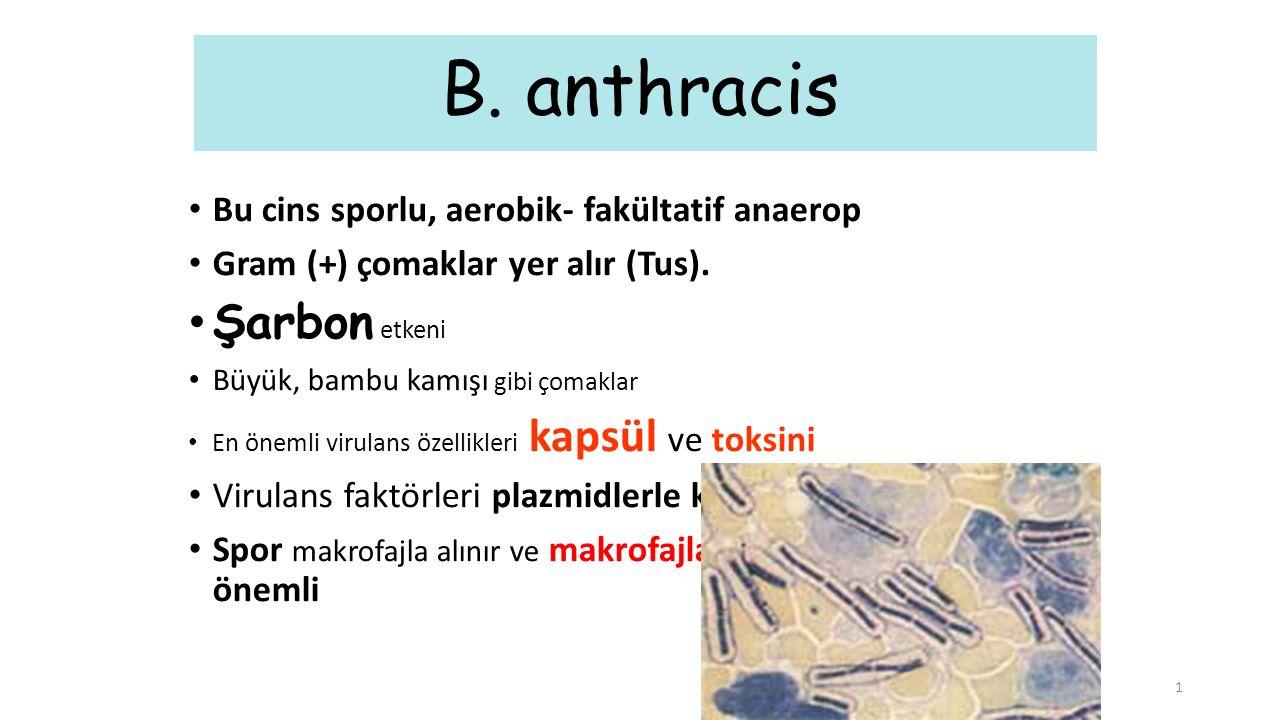 B. anthracis Şarbon etkeni Bu cins sporlu, aerobik- fakültatif anaerop