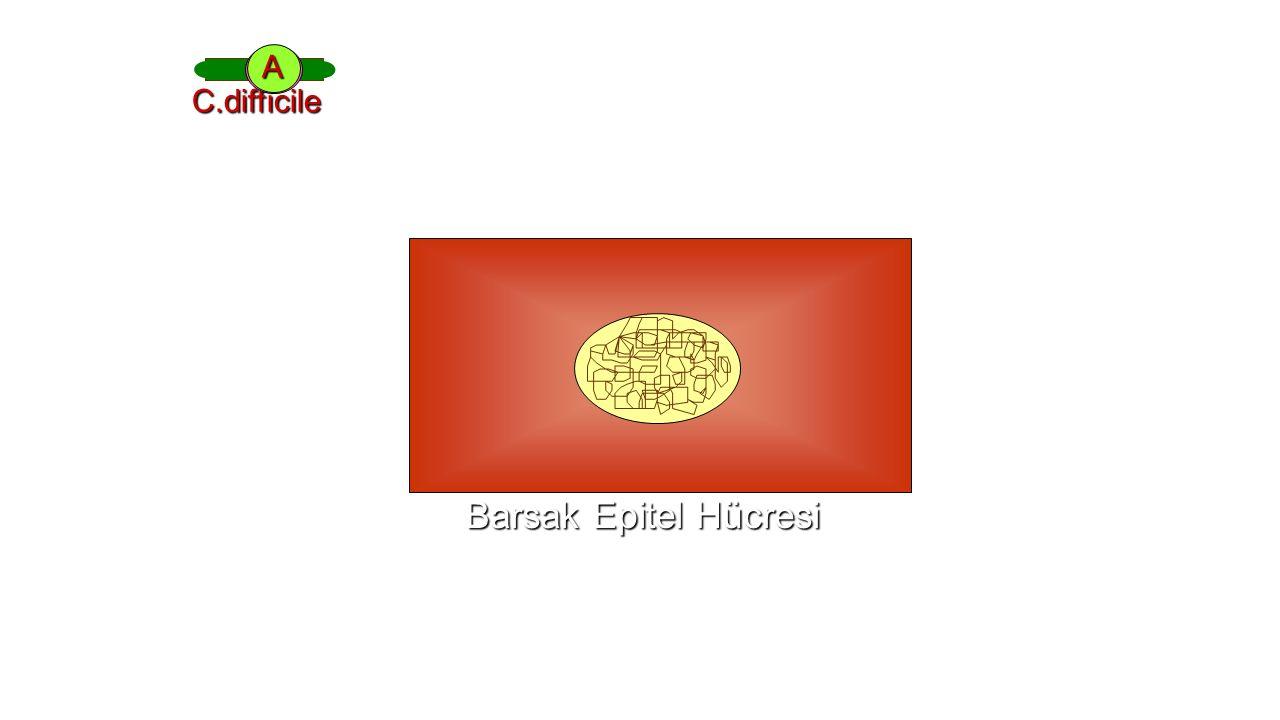 B A C.difficile Barsak Epitel Hücresi