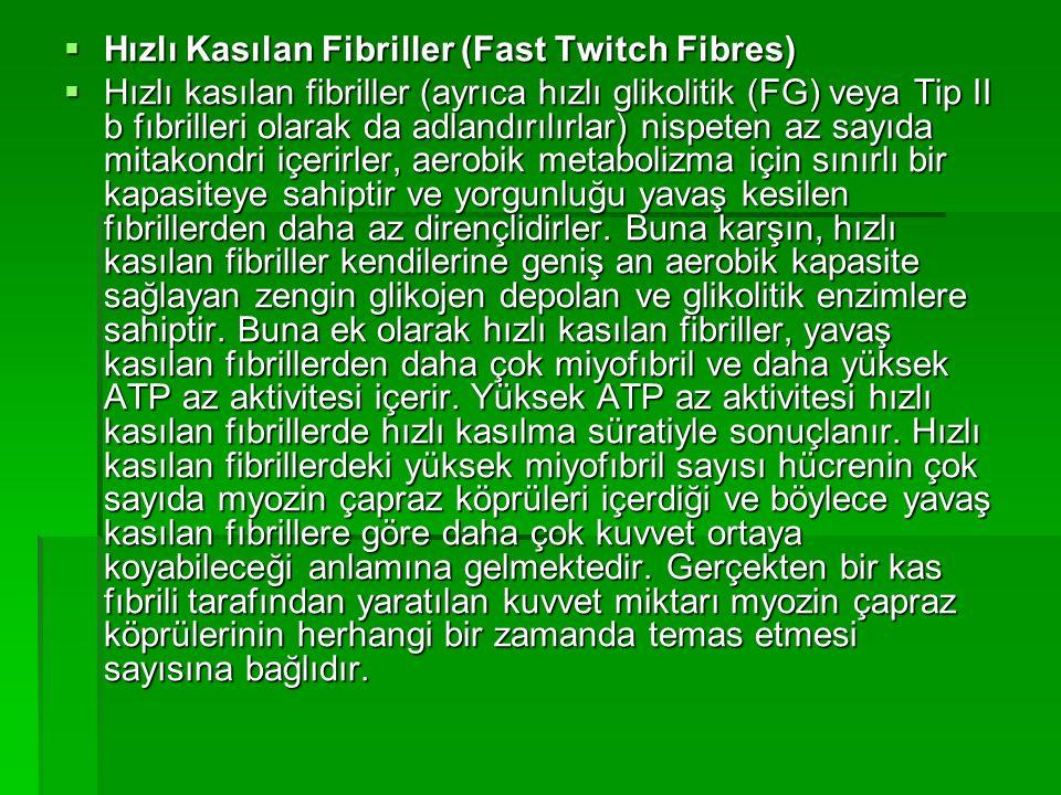 Hızlı Kasılan Fibriller (Fast Twitch Fibres)