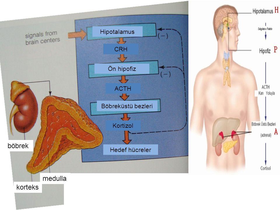 böbrek medulla korteks Hipotalamus CRH Ön hipofiz ACTH