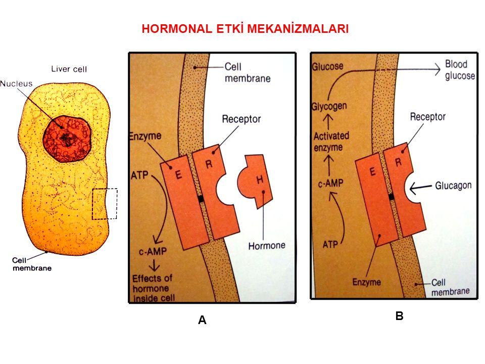 HORMONAL ETKİ MEKANİZMALARI