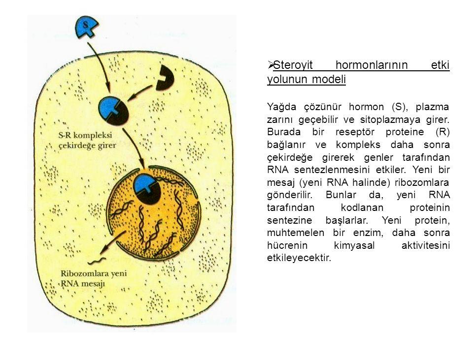 Steroyit hormonlarının etki yolunun modeli