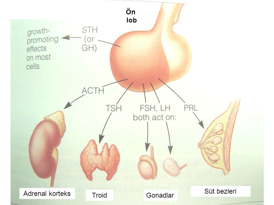 Ön lob Süt bezleri Adrenal korteks Troid Gonadlar