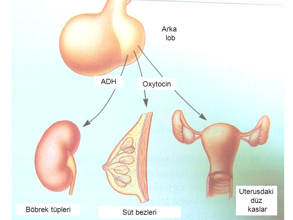 Arka lob ADH Oxytocin Uterusdaki düz kaslar Böbrek tüpleri Süt bezleri