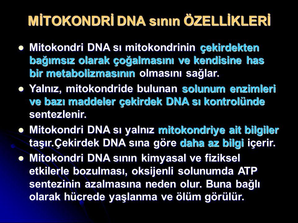 MİTOKONDRİ DNA sının ÖZELLİKLERİ