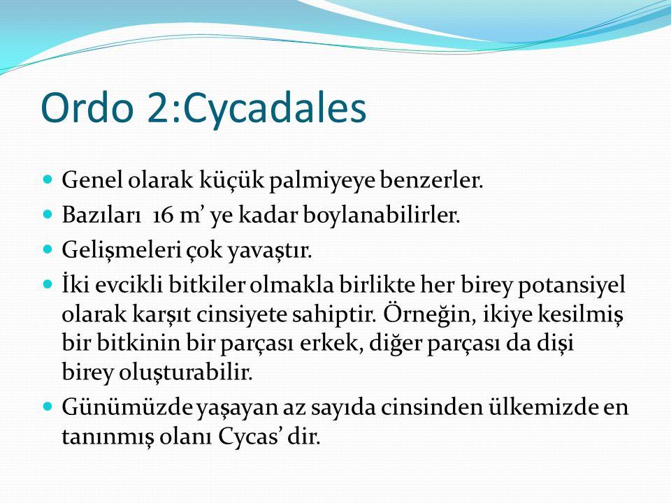 Ordo 2:Cycadales Genel olarak küçük palmiyeye benzerler.