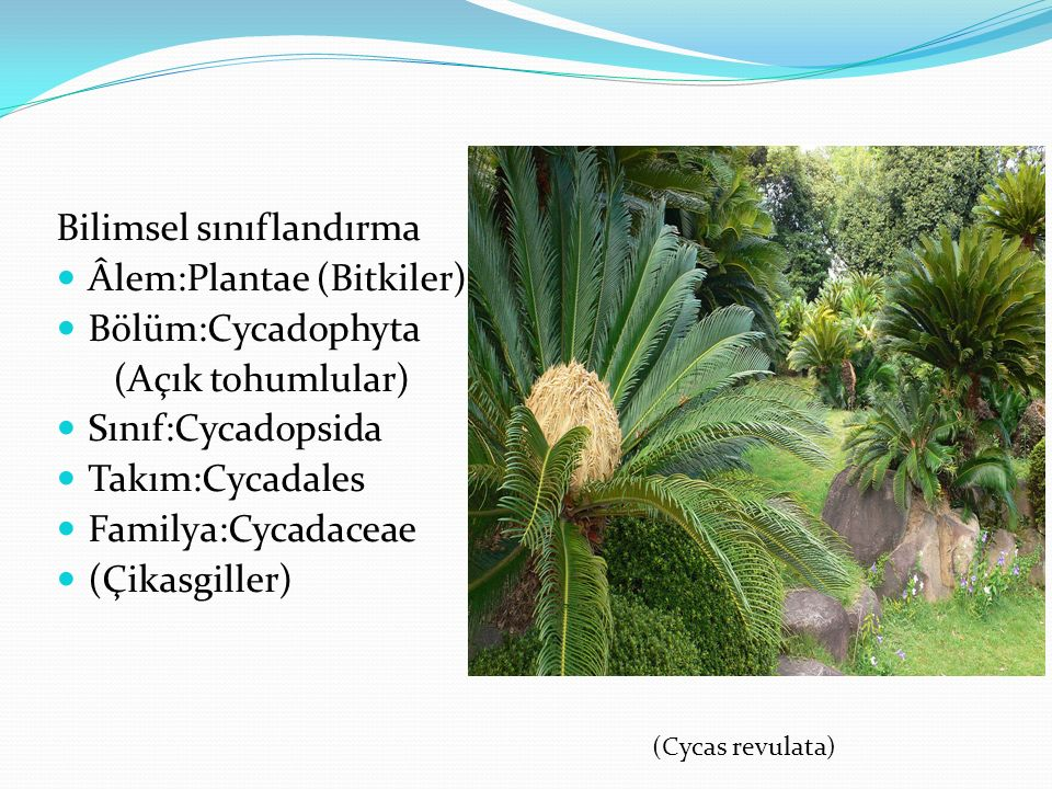 Bilimsel sınıflandırma Âlem:Plantae (Bitkiler) Bölüm:Cycadophyta