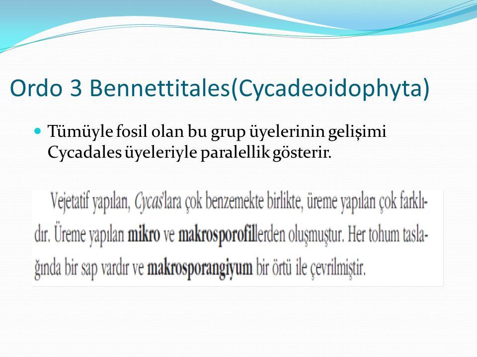 Ordo 3 Bennettitales(Cycadeoidophyta)