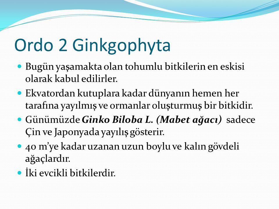 Ordo 2 Ginkgophyta Bugün yaşamakta olan tohumlu bitkilerin en eskisi olarak kabul edilirler.