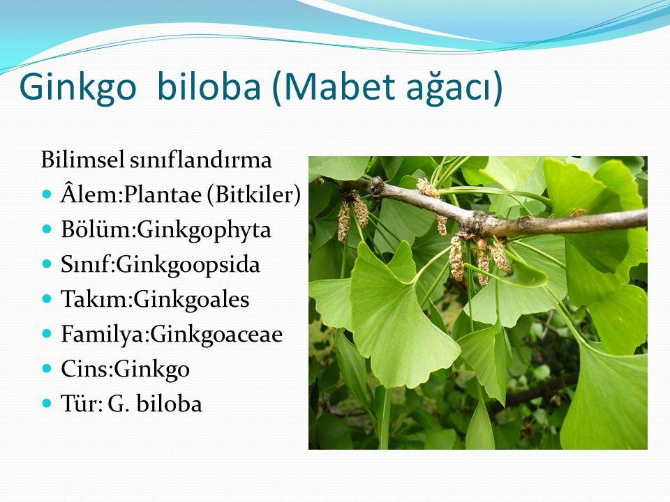 Ginkgo biloba (Mabet ağacı)