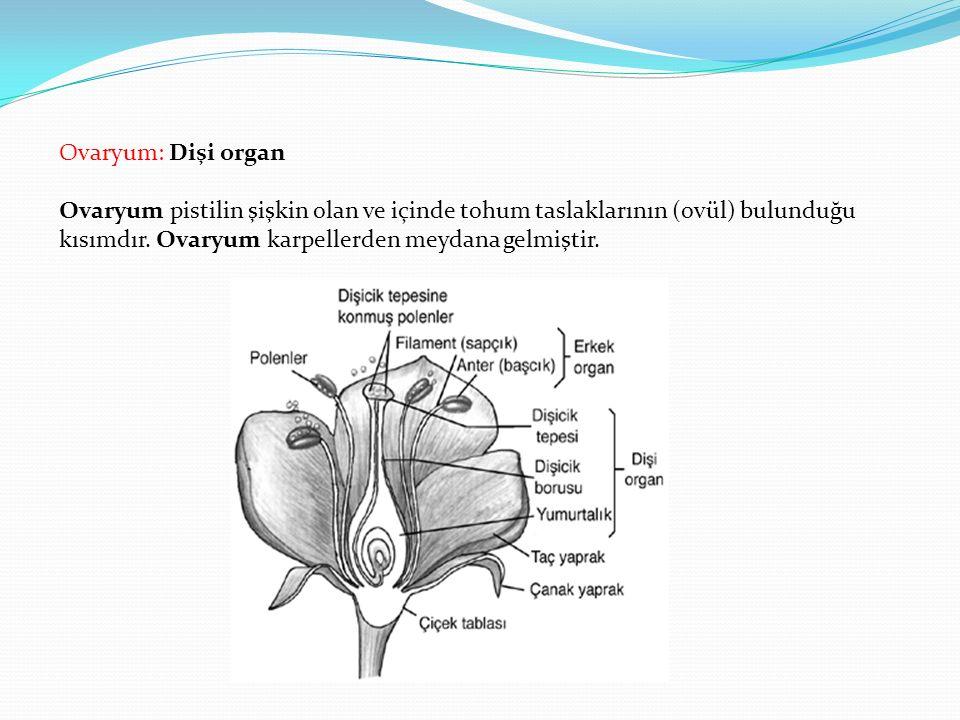Ovaryum: Dişi organ Ovaryum pistilin şişkin olan ve içinde tohum taslaklarının (ovül) bulunduğu kısımdır.
