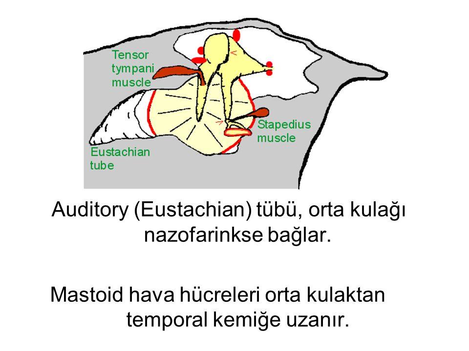 Auditory (Eustachian) tübü, orta kulağı nazofarinkse bağlar.