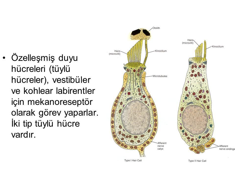 Özelleşmiş duyu hücreleri (tüylü hücreler), vestibüler ve kohlear labirentler için mekanoreseptör olarak görev yaparlar.