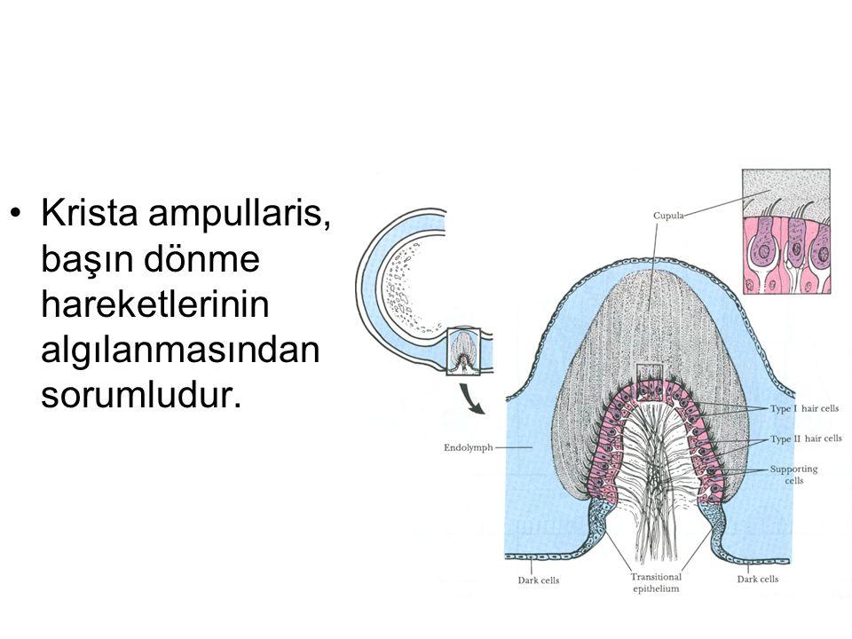 Krista ampullaris, başın dönme hareketlerinin algılanmasından sorumludur.